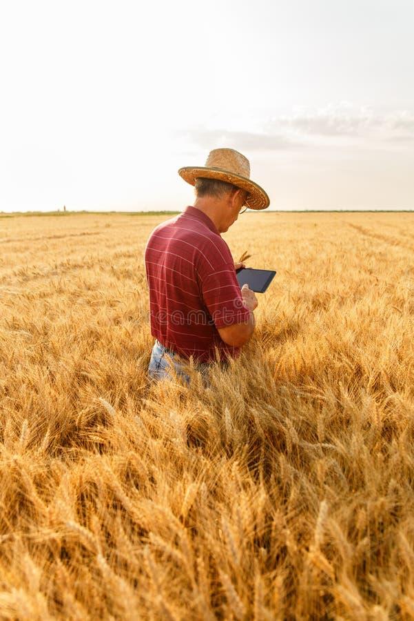 Situaci?n mayor del granjero en una cosecha de examen del campo de trigo fotografía de archivo