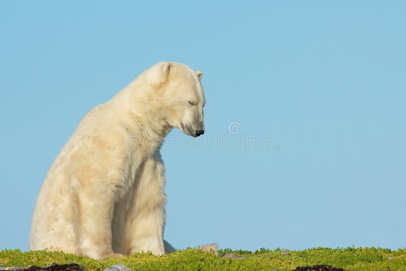 Situp 1 d'ours blanc photo libre de droits