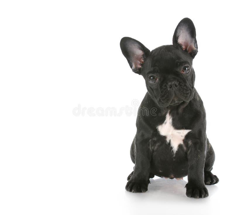 Sitzen der französischen Bulldogge stockfotos