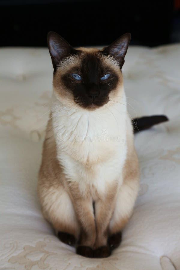 Sitzen der siamesischen Katze lizenzfreies stockfoto