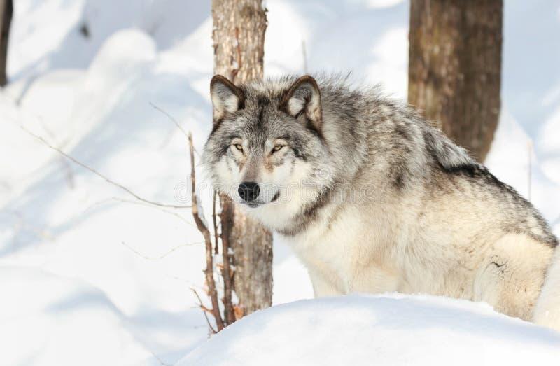 Sitzen des grauen Wolfs lizenzfreie stockbilder