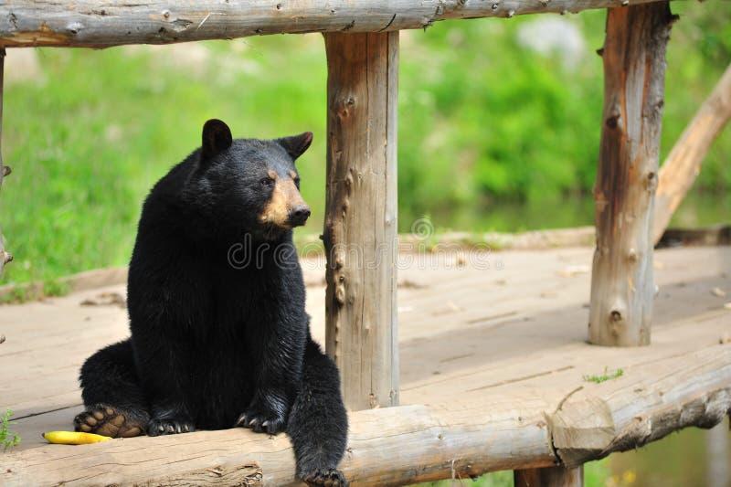 Sitzen des schwarzen Bären stockfotografie