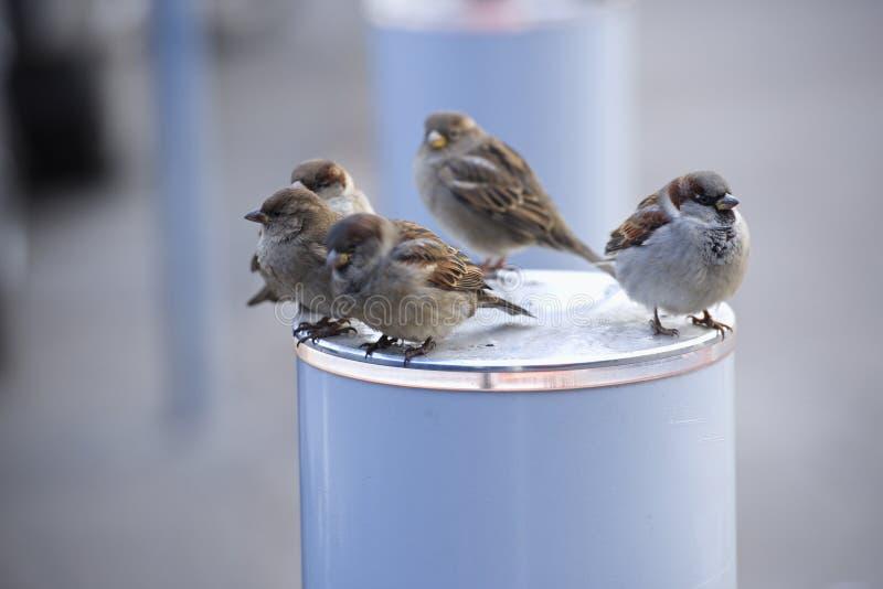 Sitzen wehrloser hungriger Vogelspatz des Vogelspatzenwinters warmen Tag lizenzfreie stockbilder