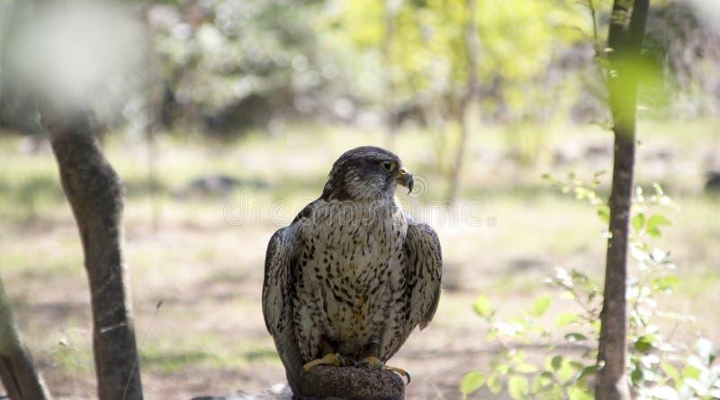 Sitzende Außenseite des Wanderfalken Bell auf seinem Bein stockfotos