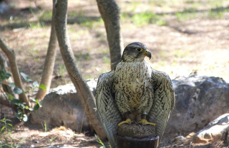 Sitzende Außenseite des Wanderfalken Bell auf seinem Bein stockfotografie