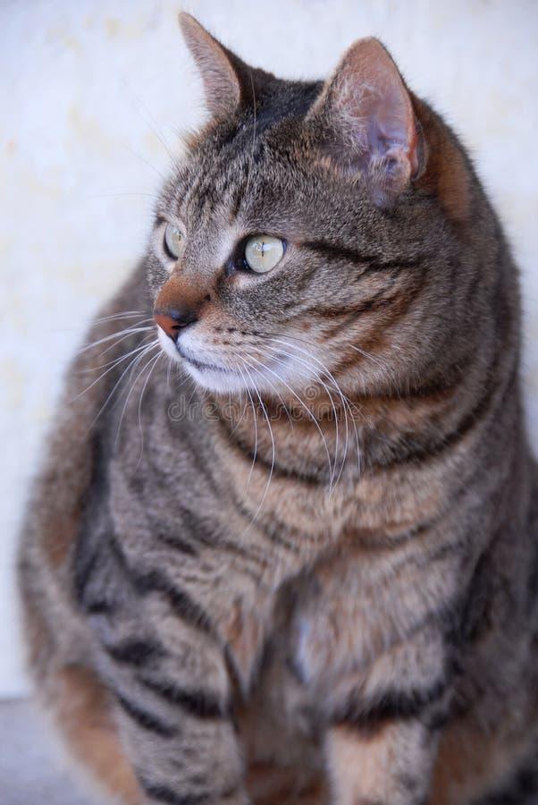Sitzende Katze der getigerten Katze lizenzfreie stockfotos