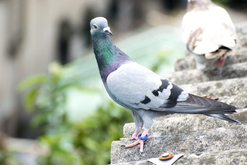 sitzende Stellung der Vogeltaube auf grün-blauem Stangenrennläufer des Dachs stockfoto