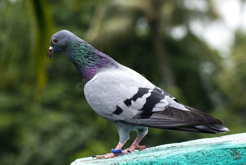 sitzende Stellung der Vogeltaube auf Stangen-Rennläuferautomatisch ansteuern des Dachs dem grün-blauen stockfotografie