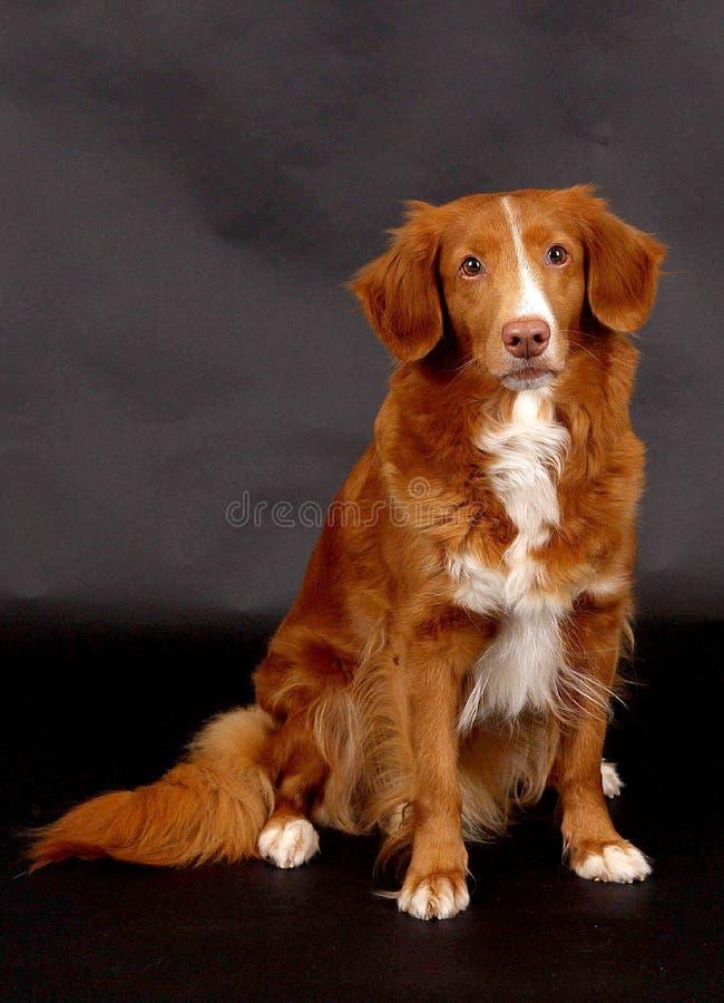 Sitzender brauner tollor Hund stockfotos