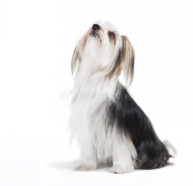 Download Sitzender Hund Mit Langem Pelz Stockbild - Bild von zucht, studio: 47101001
