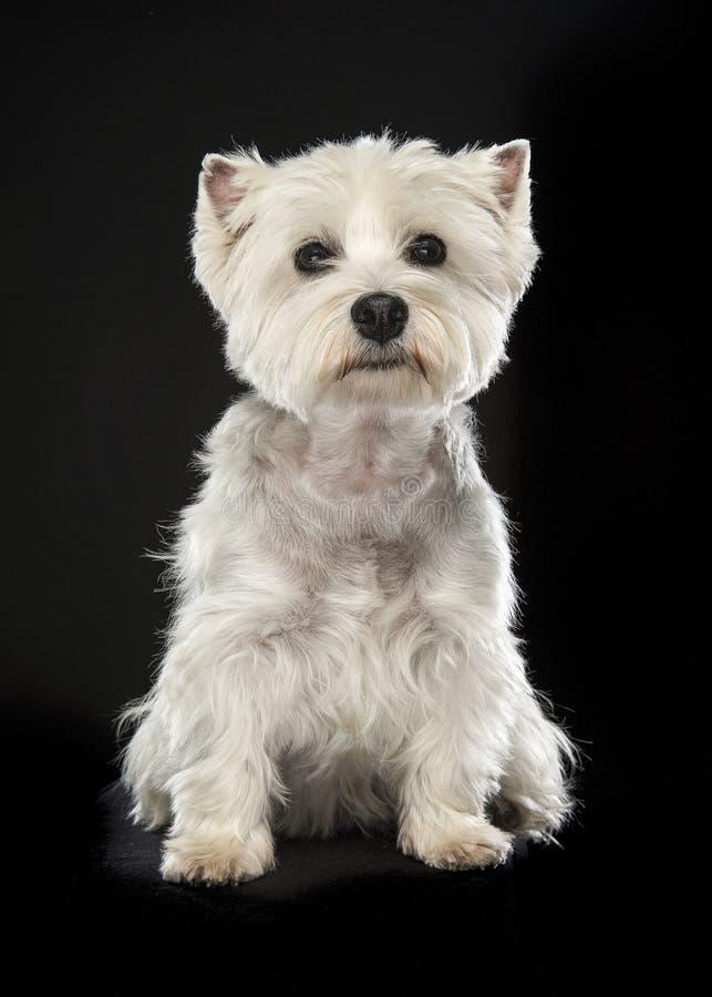 Sitzender weißer Terrier des Westhochlands oder westie Hund, der betrachtet lizenzfreies stockfoto