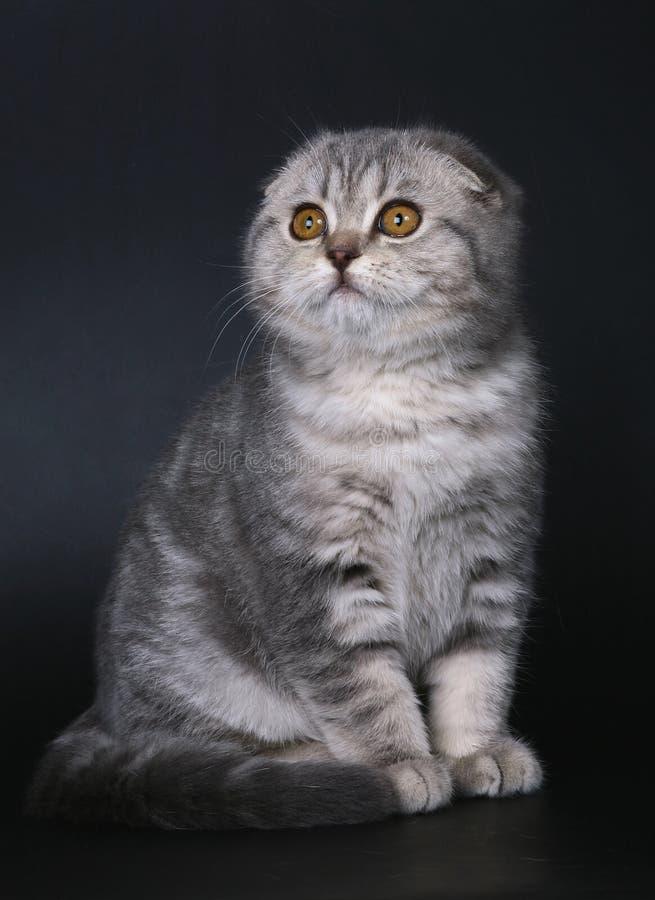 Sitzendes Kätzchen der Brut Scottishfalte. lizenzfreies stockfoto
