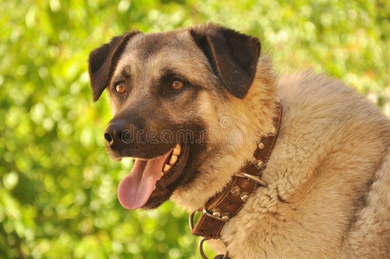 Sivas Kangal Dog stock photo