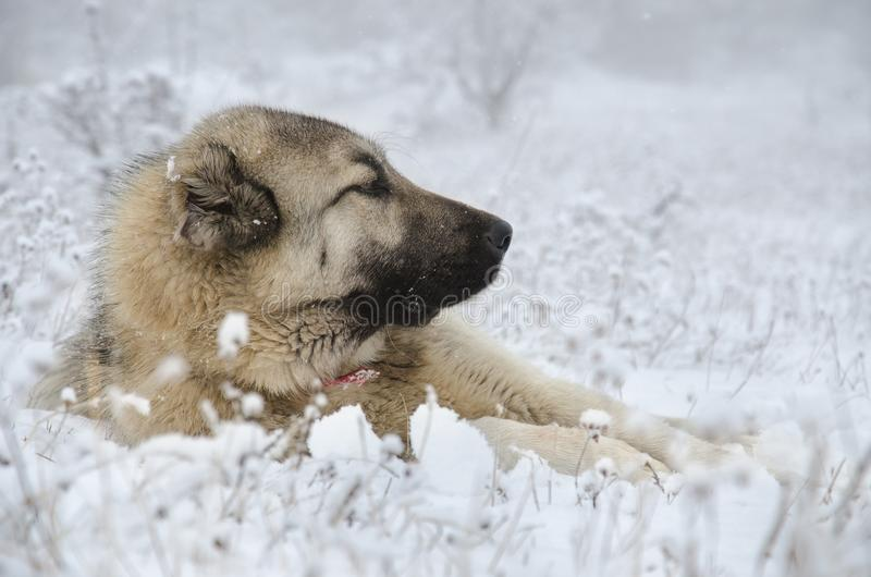 Sivas Kangal dog lying in snow. stock photography