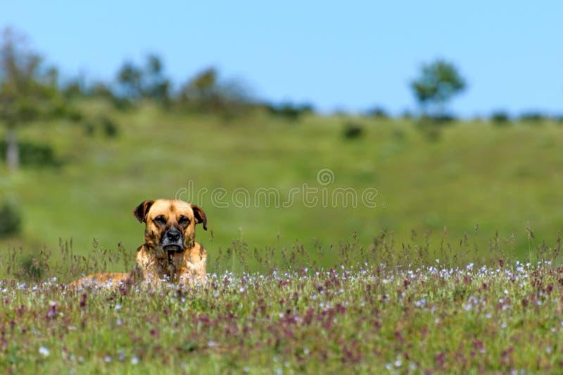Sivas Kangal pies zdjęcia stock