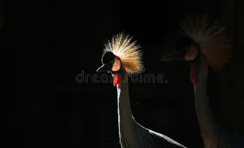 Siwieję koronował żurawia w ciemnym tle fotografia royalty free