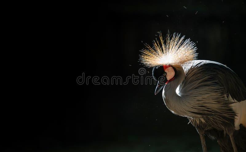 Siwieję koronował żurawia w ciemnym tle fotografia stock