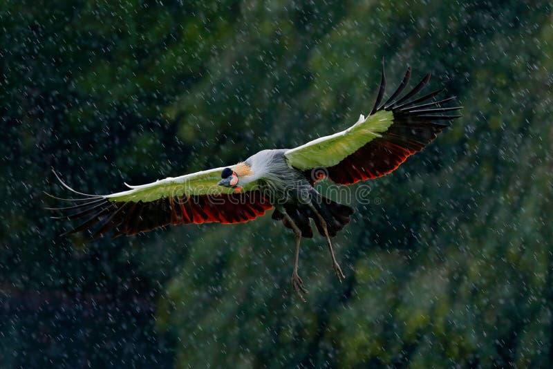 Siwieję koronował dźwigowej komarnicy, Balearica regulorum z ciemnym tłem, Ptak głowa z złocistym grzebieniem w pięknym wieczór s obrazy stock