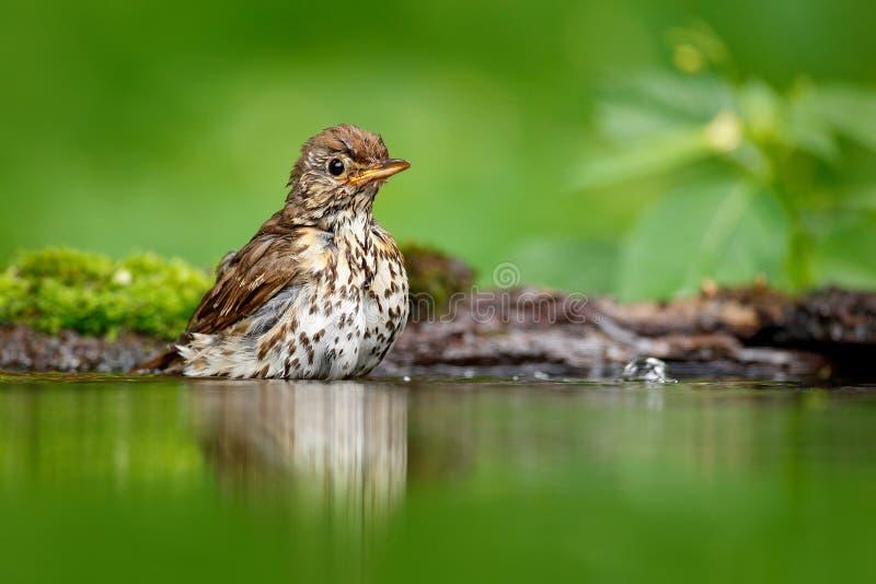 Siwieje brown pieśniowego drozda Turdus philomelos, siedzi w wodzie, ładna liszaj gałąź, ptak w natury siedlisku, wiosna - gniazd obraz royalty free