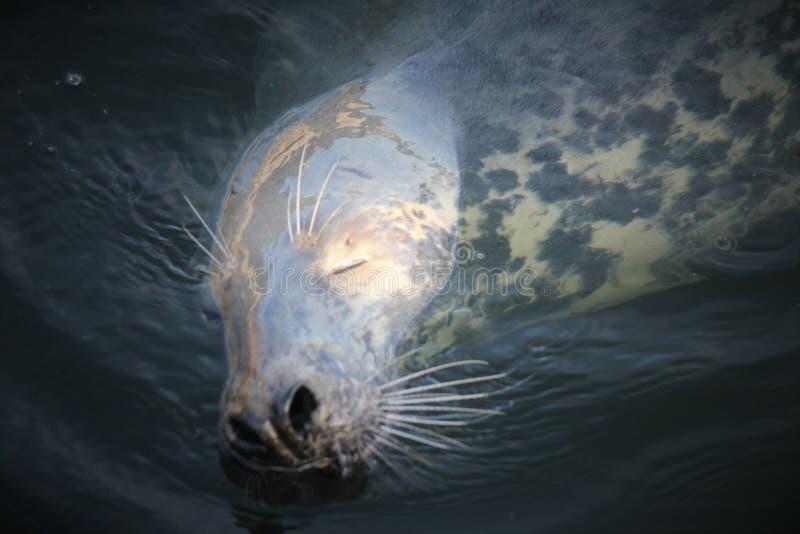 Siwieje fokę w wodzie fotografia royalty free