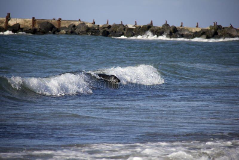 Siwieje foka surfing na fala zdjęcia stock