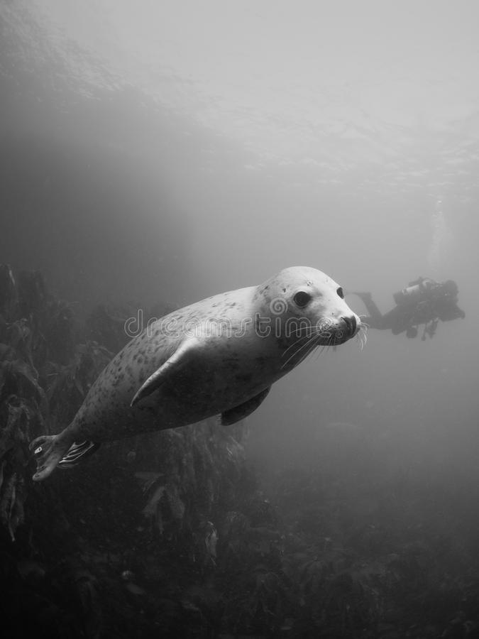 Siwieje foki w Farne wyspach zdjęcia royalty free