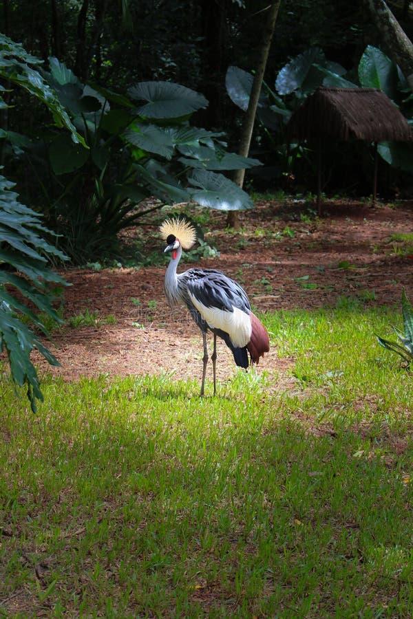 Siwieje Koronowanego żurawia z czubatą koroną fotografia royalty free