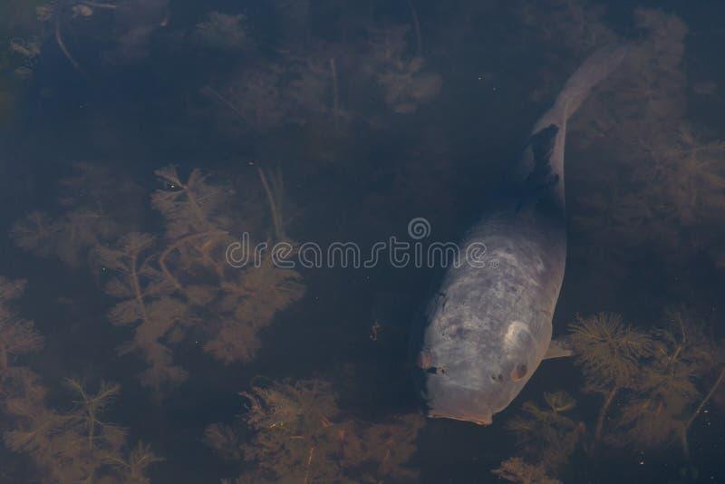 Siwieje ryba zdjęcie royalty free