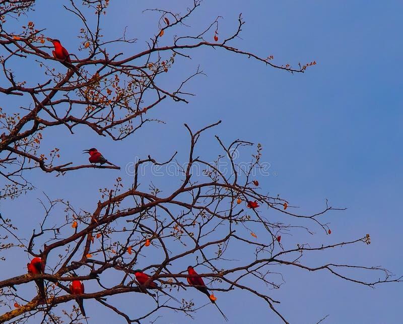 Six abeille-mangeurs du sud de carmin s'asseyant dans un arbre image libre de droits