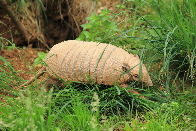 Six-banded armadillo. The adult six-banded armadillo strolling in the grass royalty free stock photo