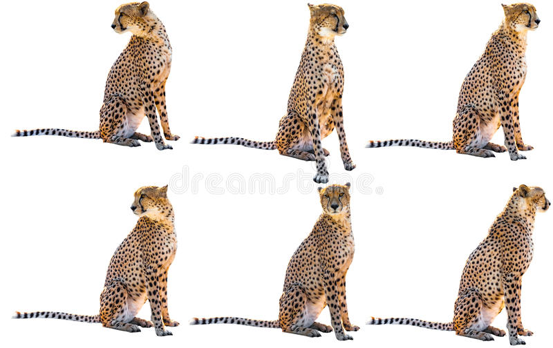 Six cheetahs. Six cheetah sitting side view and front view, on white background, isolated royalty free stock photo