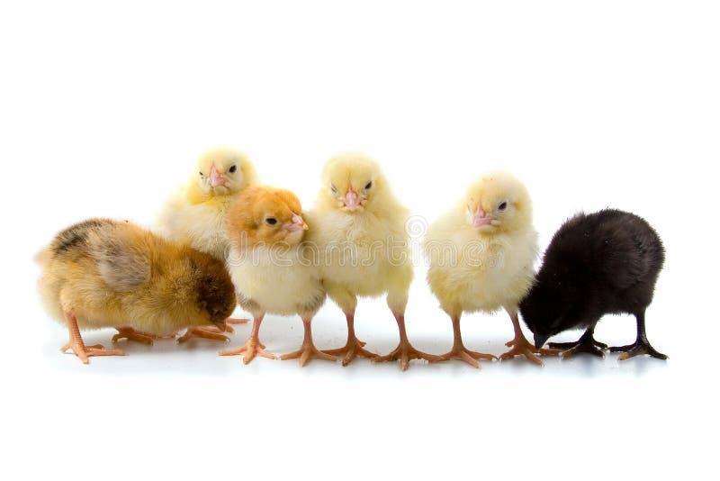 Six chickens stock photo