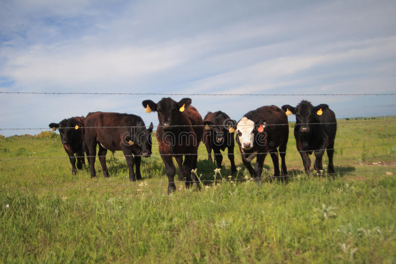 Six curious cattle stock images