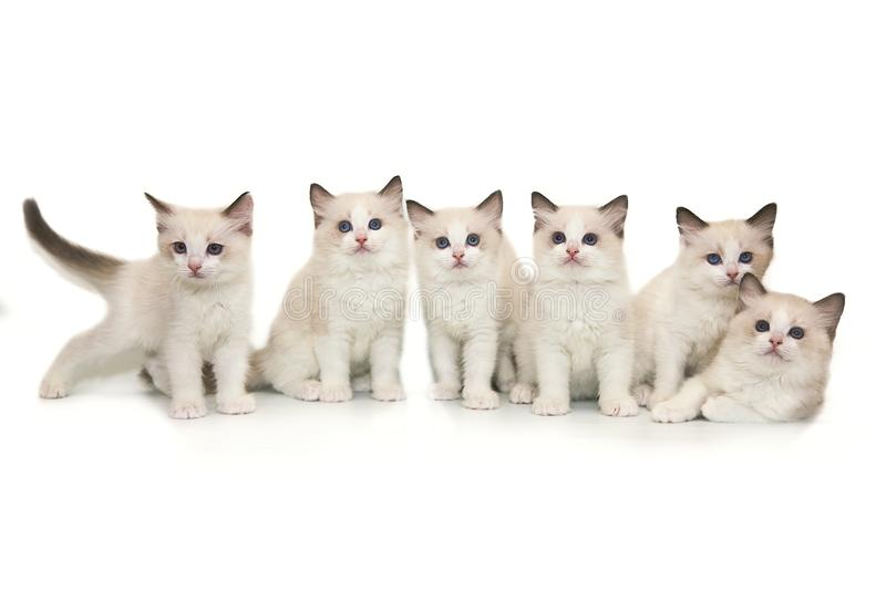 Six cute white ragdoll kitten with blue eyes on a white background. stock photos