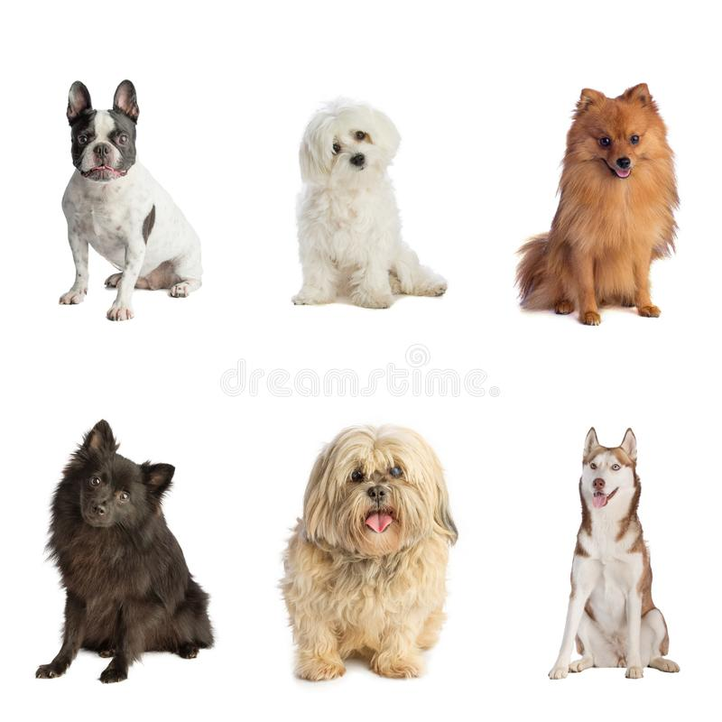 Six dogs siting of different breeds. Six dogs siting, Pomeranian; Lhasa Apso; Husky, Bouldogue, Bichon on white background royalty free stock photo