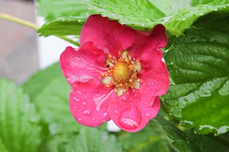 Six fleurs pétalées de fraise entre des feuilles photo stock
