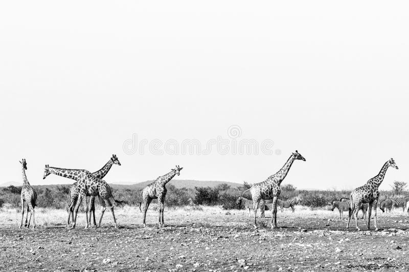 Giraffes and Burchells Zebras. Monochrome stock photos