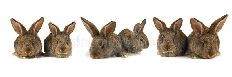 Six grey rabbit. Grey rabbit oa white background royalty free stock image