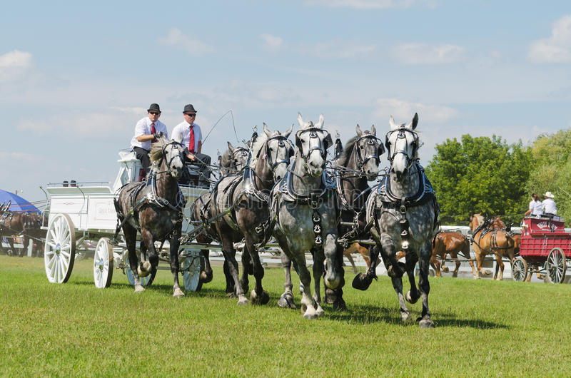 Six Horse Hitch Team of Grey Percherons at Country stock photos