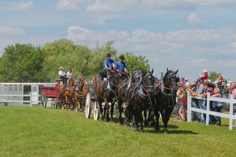 Six Horse Hitch Teams of Heavy Draft Horses