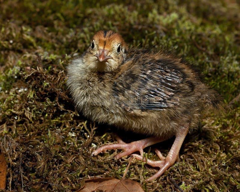 Six jours cailles, cognassier du Japon de Coturnix photographié en nature image libre de droits