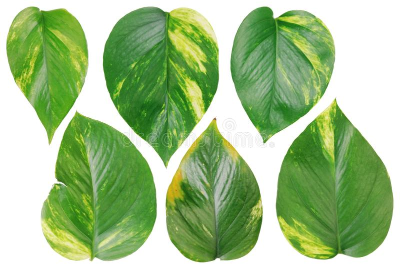 Six leaves of evergreen indoor plants of creeper set. stock images