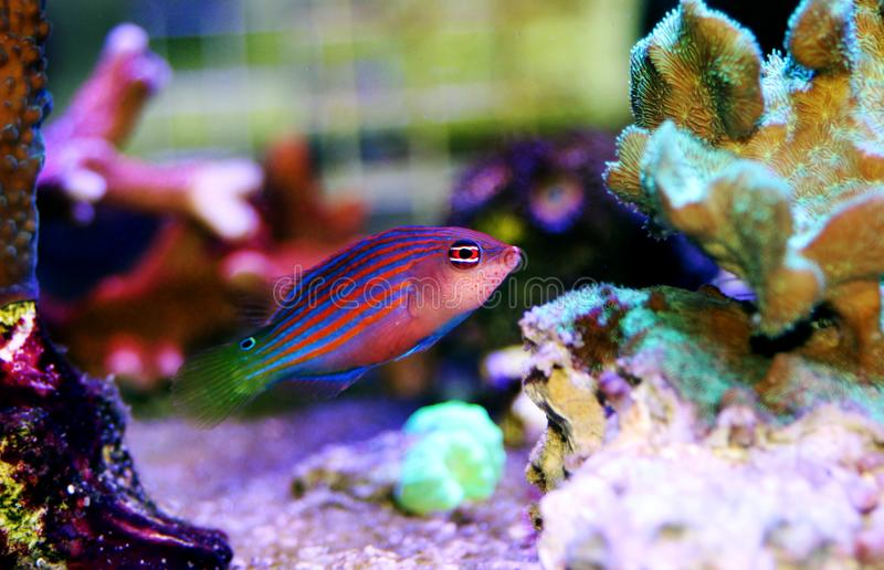 Six Line Wrasse - Pseudocheilinus hexataenia. The Six Line Wrasse is both beautiful and active. With its six distinct, horizontal blue lines overlaid against an royalty free stock photo