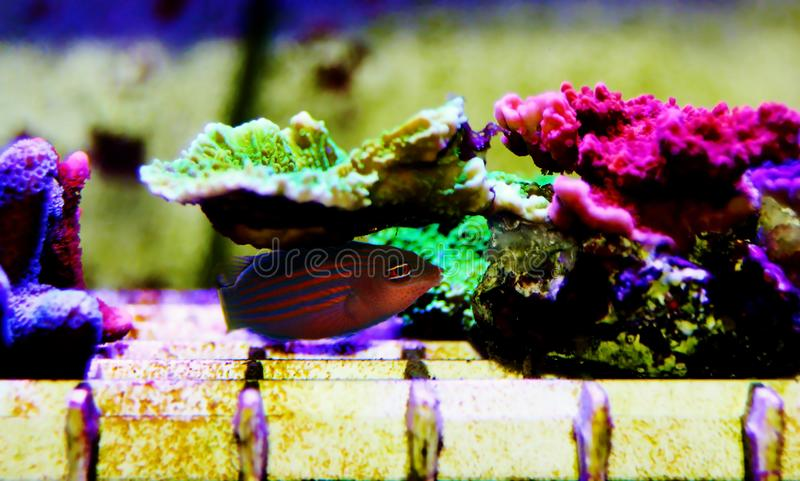 Six Line Wrasse - Pseudocheilinus hexataenia. The Six Line Wrasse is both beautiful and active. With its six distinct, horizontal blue lines overlaid against an stock photo