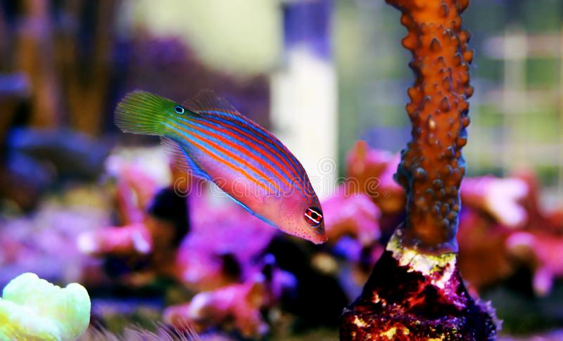 Six Line Wrasse - Pseudocheilinus hexataenia. The Six Line Wrasse is both beautiful and active. With its six distinct, horizontal blue lines overlaid against an royalty free stock images