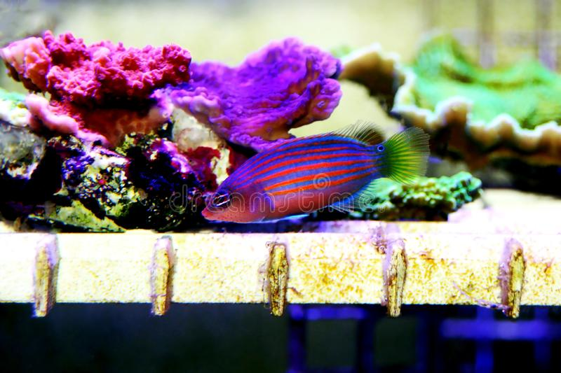 Six Line Wrasse - Pseudocheilinus hexataenia. The Six Line Wrasse is both beautiful and active. With its six distinct, horizontal blue lines overlaid against an royalty free stock photography