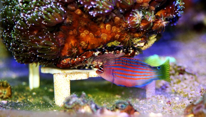 Six Line Wrasse - Pseudocheilinus hexataenia. The Six Line Wrasse is both beautiful and active. With its six distinct, horizontal blue lines overlaid against an royalty free stock photos