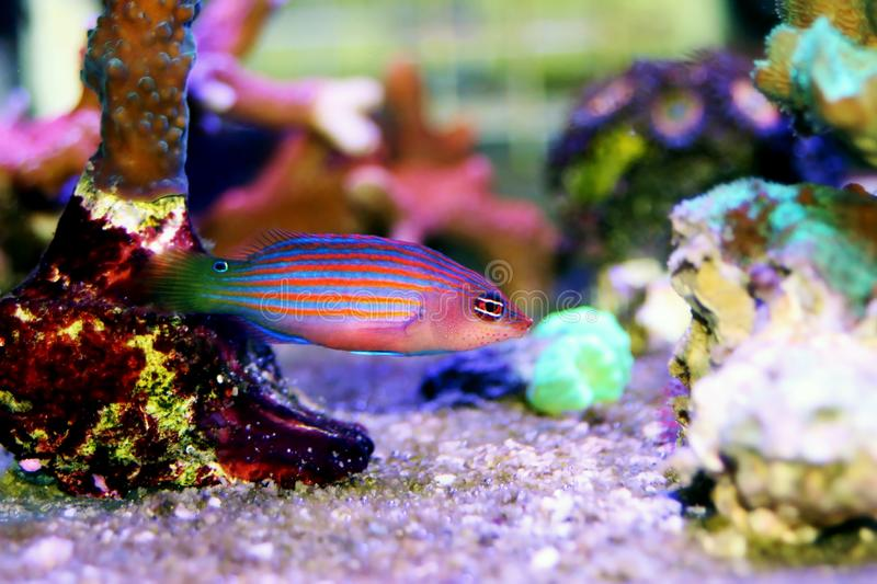 Six Line Wrasse - Pseudocheilinus hexataenia. The Six Line Wrasse is both beautiful and active. With its six distinct, horizontal blue lines overlaid against an stock images