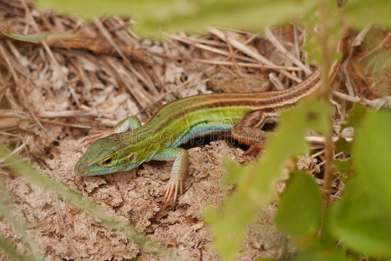 Six-lined Racerunner royalty free stock photos