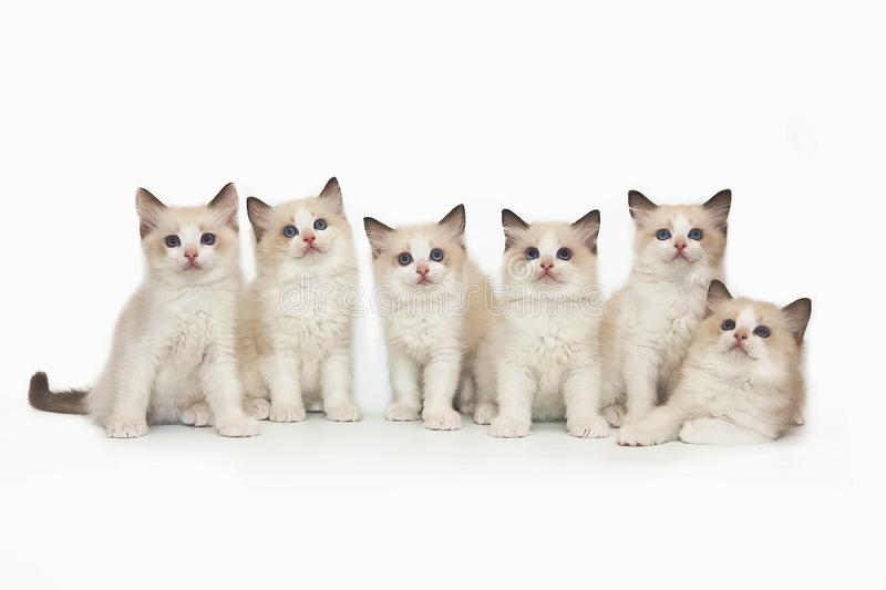 Six cute white ragdoll kitten with blue eyes on a white background. Six little cute white ragdoll kitten with blue eyes on a white background. A lot of kittens royalty free stock image